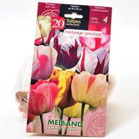 Meilland 20 tulipes Rembrandt, mélange prestige